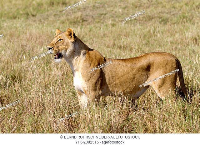Lioness (Panthera leo) in savannah, Masai Mara, Kenya