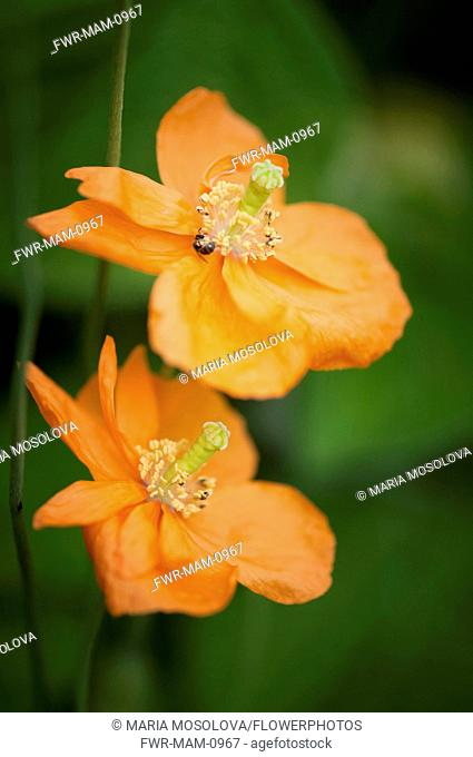 Poppy, Papaver rupifragum Tangerine Parfait. Two flowers, one above the other with insect curled around anther of upper flower