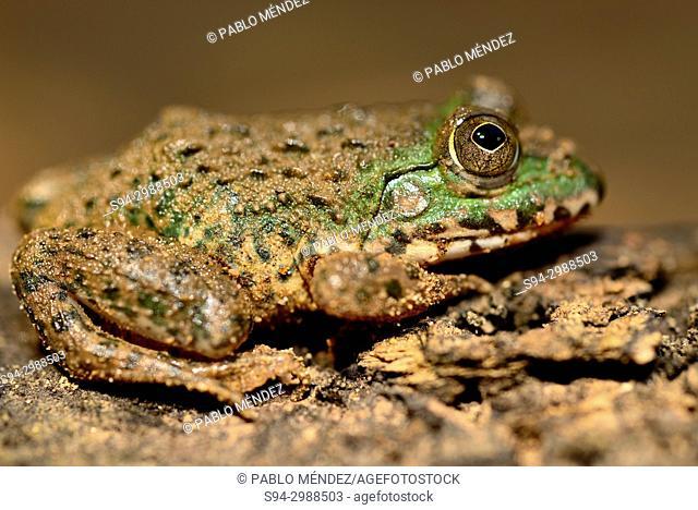 Common frog (Fejervarya limnocharis) in Koh Trong island, Kratie province, Cambodia