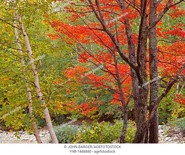 Fall-colored sugar maple and birch, near Peabody River, White Mountain National Forest, New Hampshire, USA