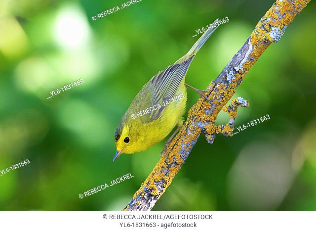 Wilson's warbler perched on a lichen covered branch