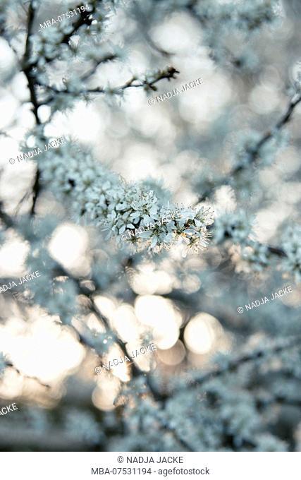 Delicate white cherry blossoms in the evening sun
