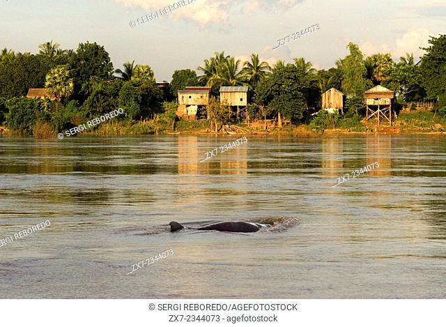 Mekong River near Kampi. Looking for some fresh water dolphins Irrawaddy . Kratie. Irrawaddy Dolphin Watching, The best spot to watch the dolphins is Kampi...
