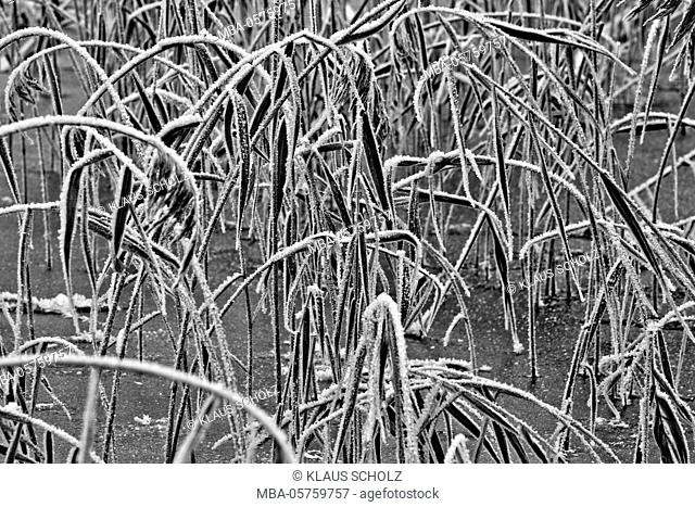 Hoarfrost on the reed