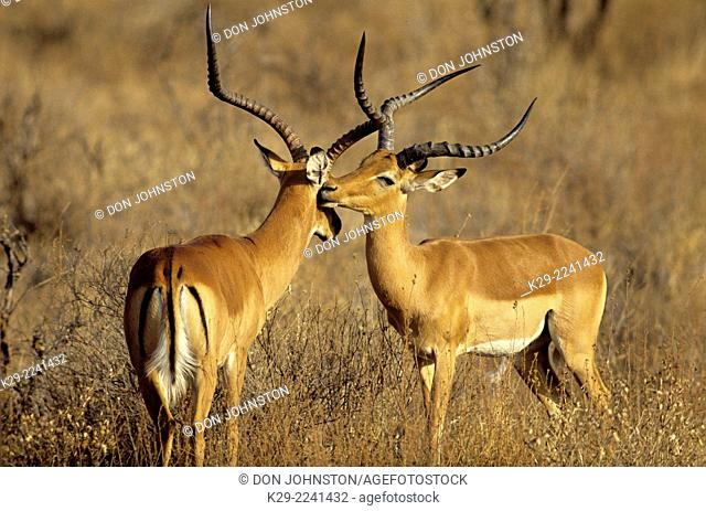 Impala (Aepyceros melampus) , Maasai Mara National Reserve, Rift Valley, Kenya