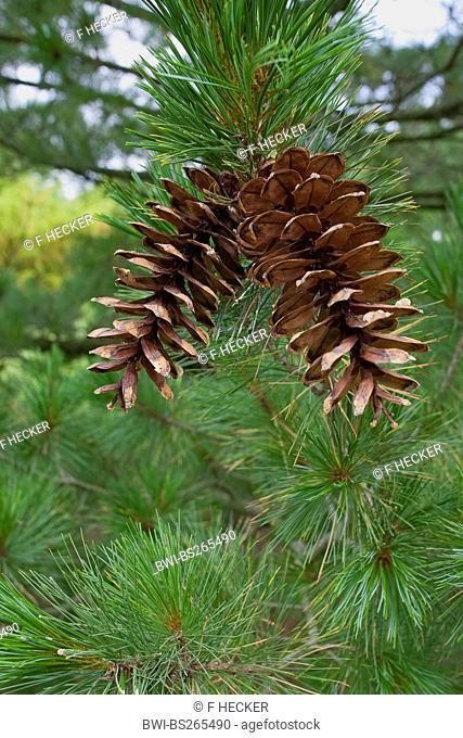Macedonian pine, Balkan pine Pinus peuce, cones on a branch