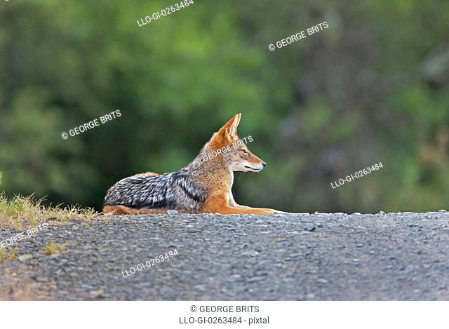 Black-backed Jackal Canis mesomelas resting on road, Mountain Zebra National Park, Eastern Cape Province, South Africa