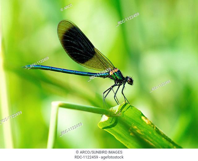 Banded Demoiselle, male (Calopteryx splendens)