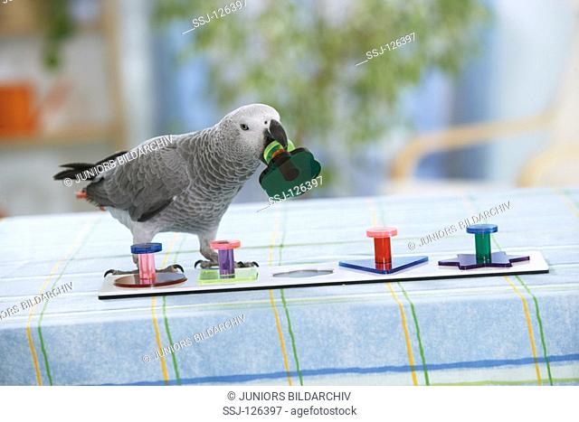 intelligence test : Congo African Grey parrot with game - Psittacus erithacus