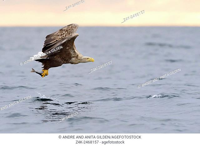 White-tailed Eagle (Haliaeetus albicilla) in flight after catching a fish with sunset