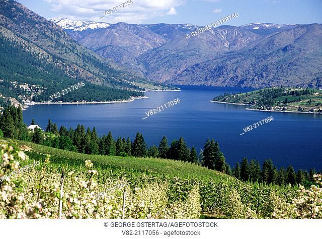 Orchard in bloom to Lake Chelan, Chelan County, Washington