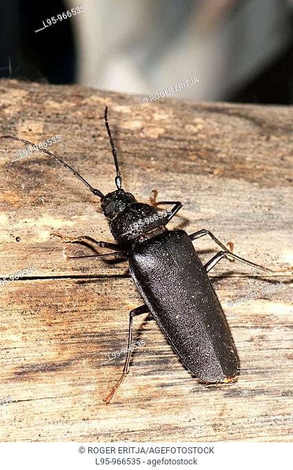 Longhorn beetle from pine tree logs and trunks