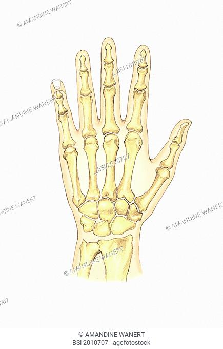 SKELETON, HAND The hand and its skeleton dorsal view. The skeleton of the wrist is composed of the bones of the carpus. The hand includes the metacarpuses