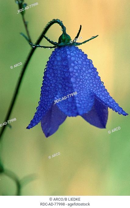 Spreading Bellflower Rhineland-Palatinate Germany Campanula patula