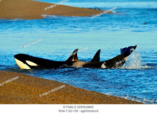 Orca (Orcinus orca) (killer whale), Patagonia, Argentina, South America