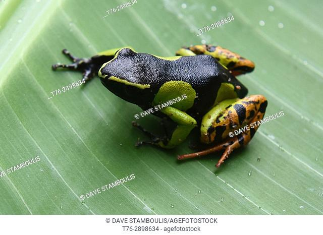 Madagascan mantella (Mantella madagascariensis) frog, Kirindy National Park, Madagascar