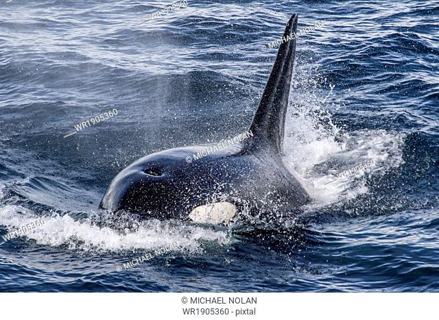 Adult bull Type A killer whale (Orcinus orca) surfacing in the Gerlache Strait, Antarctica, Polar Regions