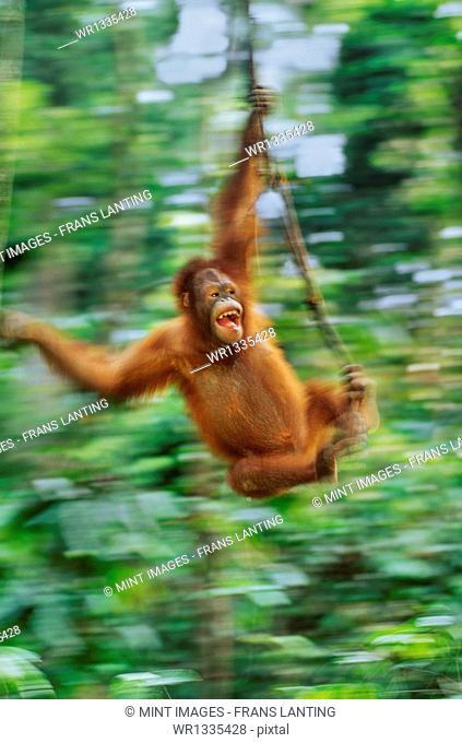 Orangutan, Pongo pygmaeus, swinging from liana, Sepilok Reserve, Sabah, Borneo