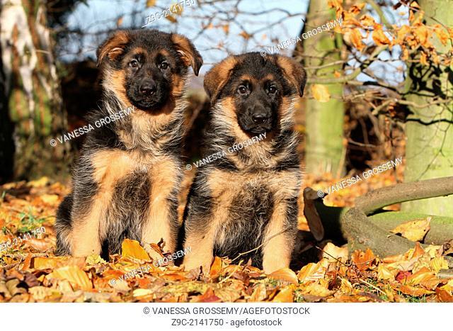 Dog German Shepherd Dog / Deutscher Schäferhund two puppies sitting in a forest