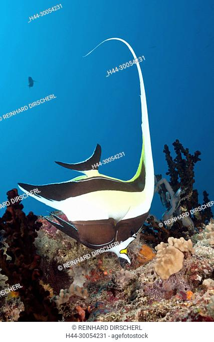 Moorish Idol, Zanclus cornutus, South Male Atoll, Maldives