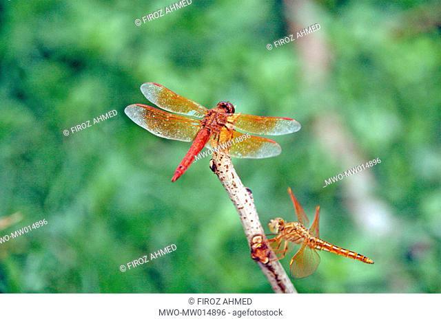 A couple of dragonflies Dhaka, Bangladesh July 04, 2007