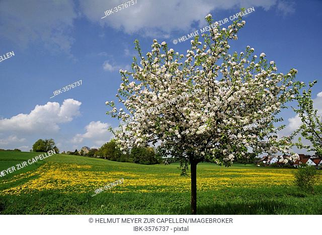 Blossoming Apple Tree (Malus domesticus), dandelion meadow village of Pettensiedel at back, Pettensiedel, Igensdorf, Upper Franconia, Bavaria, Germany