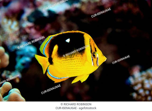 Underwater view of chaetodon quadrimaculatus (fourspot butterflyfish) at Palmerston Atoll, Cook Islands