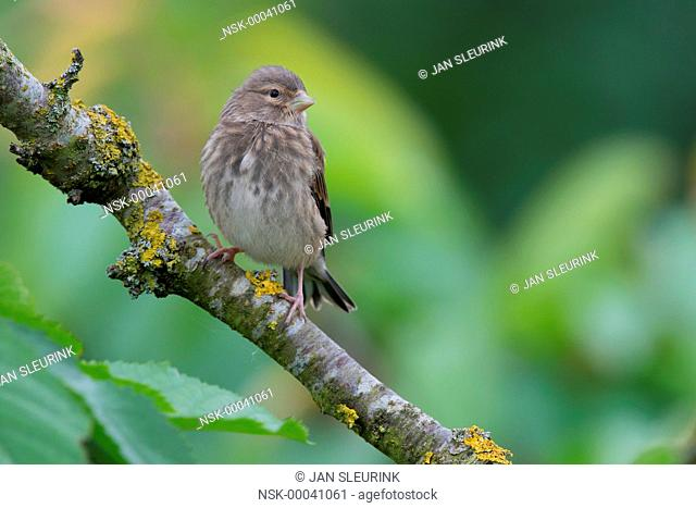 Common Linnet (Linaria cannabina) juvenile perched on a branch, The Netherlands, Flevoland, Horsterwold