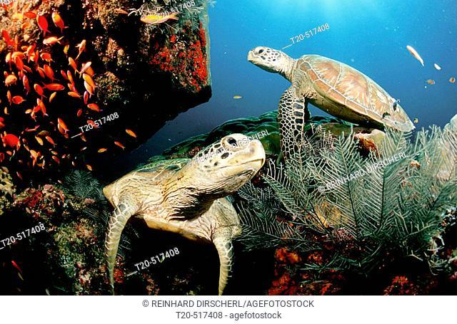 Two Green sea turtle, green turtles on a cleaner station, Chelonia mydas. Pacific ocean, Borneo, Sipadan. Malaysia