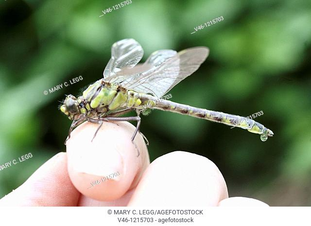 Common Clubtail, Gomphus vulgatissimus on photographer's finger  Newly emerged Common Clubtail on the photograpehr's finger  The thorax is greenish yellow and...