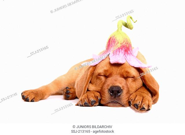Labrador Retriever. Puppy (8 weeks old) sleeping while wearing a flower-shaped hat. Studio picture against a white background. Germany