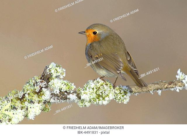Robin (Erithacus rubecula) sitting in the winter on a branch with lichen, Siegerland, North Rhine-Westphalia, Germany