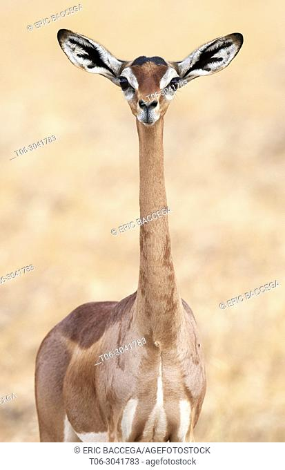 Portrait of female gerenuk {Litocranius walleri}, Samburu National Reserve, Kenya, Africa