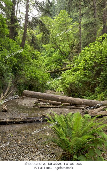 Walking up Fern Canyon along Home Creek in Prarie Creek Redwoods State Park, California, USA