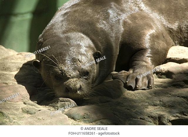 Amazon otter, Pteronura brasiliensis, largest species of otter and critically endangered, Manaus, Amazonas, Brazil