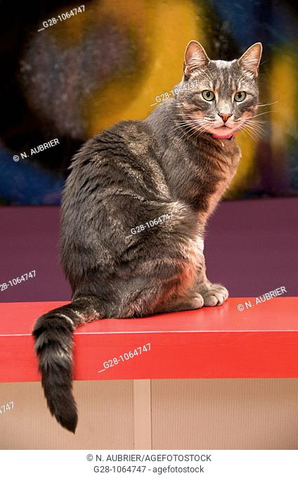 european cat,looking at something resting on a red bar with letter,green eyes,tomcat,might provoke allergy,sweet animal ,tail hanging