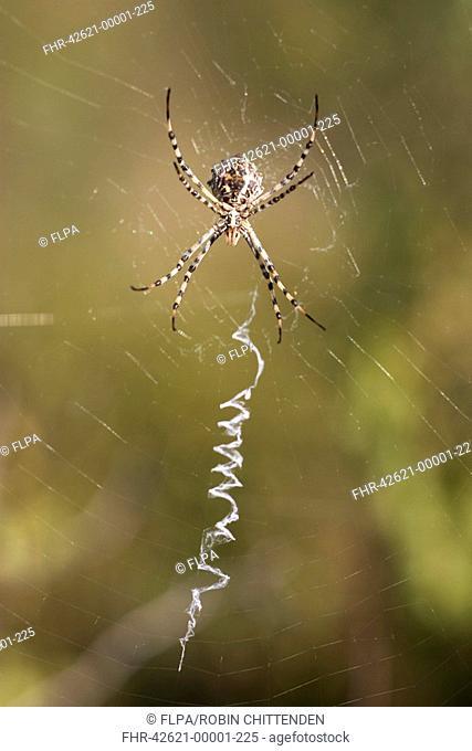 Lobed Argiope Argiope lobata adult female, on web with zig-zag stabilimentum, Algarve, Portugal