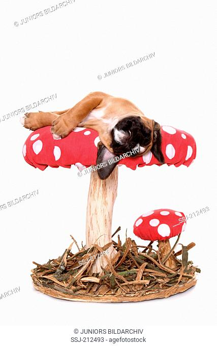 German Boxer. Puppy (6 weeks old) sleeping on a big Fly Agaric. Studio picture against a white background. Germany