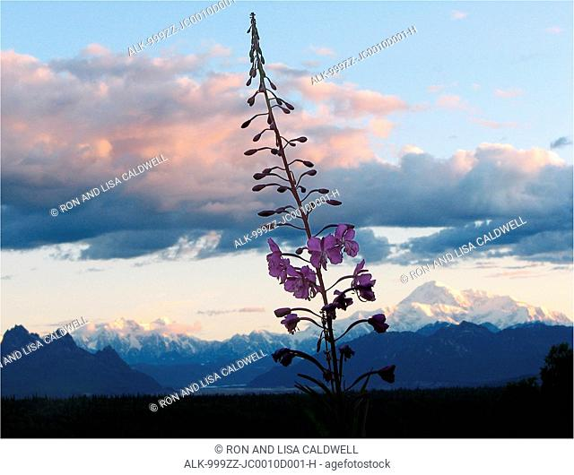 Scenic view of Mt. McKinley and the Alaska Range in morning light with a Fireweed blossom in the foreground, near George Parks Highway, Southcentral Alaska