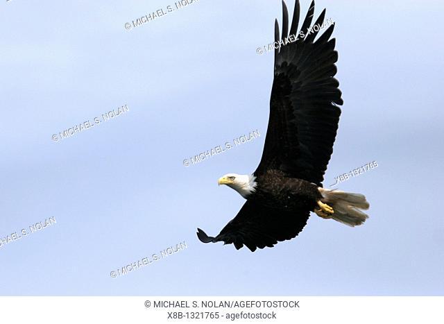 American Bald Eagle Haliaeetus leucocephalusin flight outside Petersburg in Southeast Alaska, USA  Pacific Ocean
