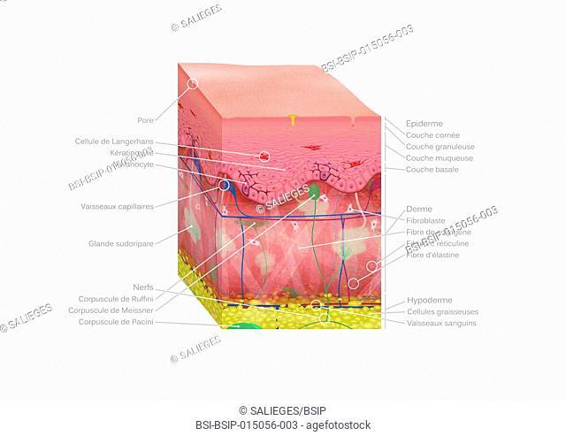 3D cross-section illustration of skin : epidermis, dermis and hypodermis. With Langheran cells, keratinocytes and melanocytes, capillaries, pores, sweat glands