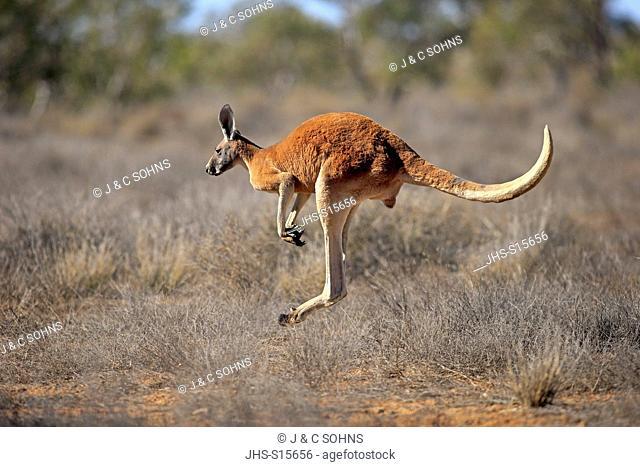 Red Kangaroo, (Macropus rufus), adult male jumping, Sturt Nationalpark, New South Wales, Australia