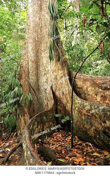 Gyranthera caribensis Pittier, Venezuela