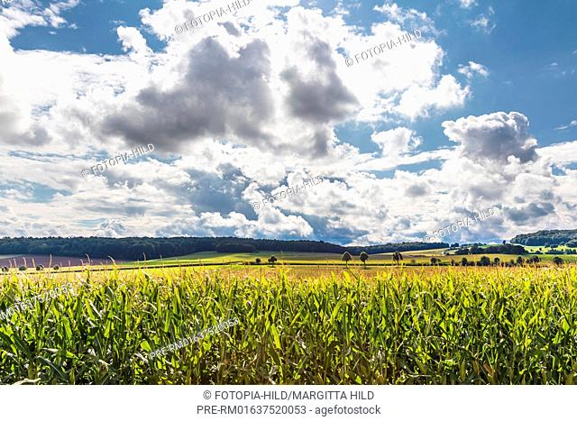 Maize field at Barterode, Flecken Adelebsen, Naturraum Sollingvorland, Landkreis Göttingen, Niedersachsen, Germany, HDR / Maisfeld in Barterode
