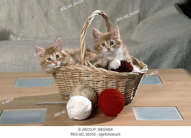 Norwegian Forest Cats kittens in basket with balls of wool
