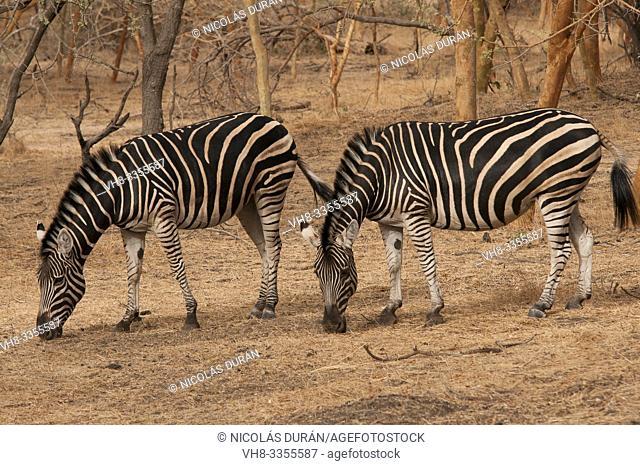 Zebra in Bandia Park, Senegal, Nguekhok