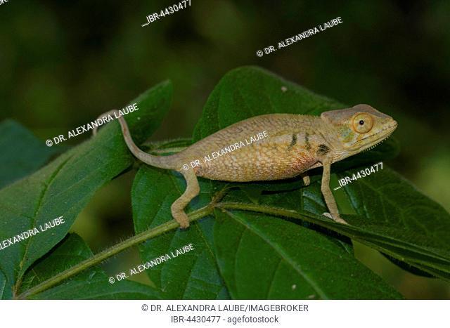 Panther chameleon (Furcifer pardalis), juvenile, Ambanja, northwestern Madagascar, Madagascar