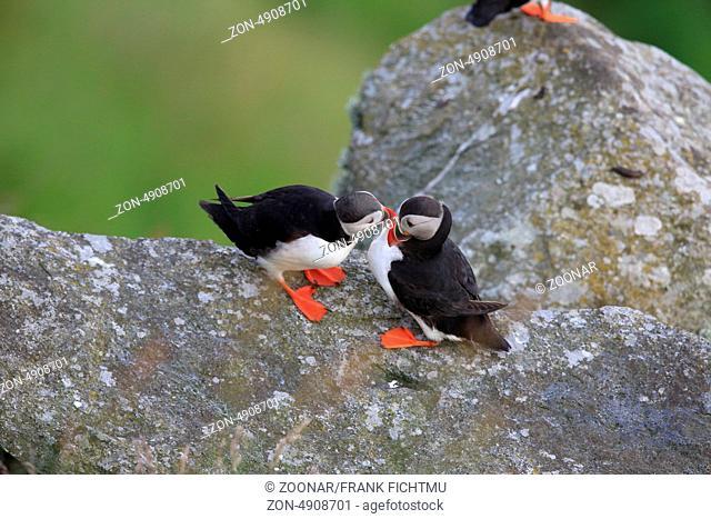 Papageitaucher am Vogelfelsen