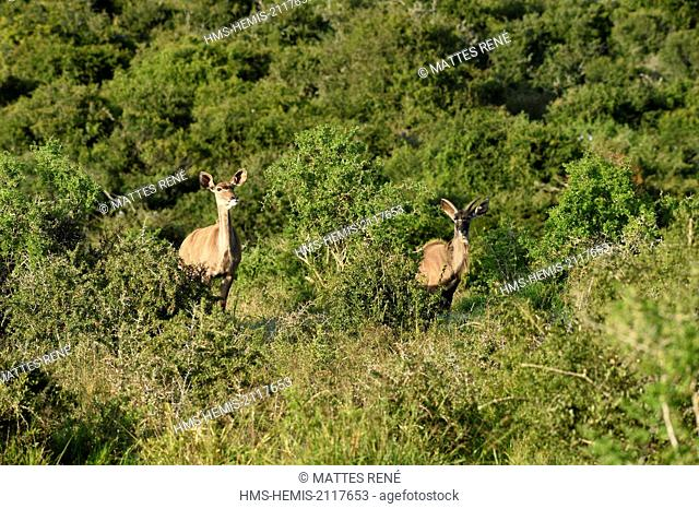 South Africa, Eastern Cape, Addo Elephant National Park, Greater kudu (Tragelaphus strepsiceros) buck