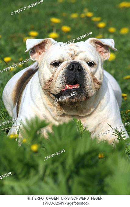 lying English Bulldog